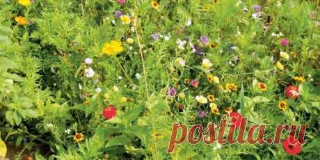 """Мавританский газон — разнообразие красок   Журнал """"JK"""" Джей Кей Мавританский газон — это смесь газонной травы, злаковых растений и полевых цветов. Выглядит посадка очень мило, уютно и аутентично. Она"""