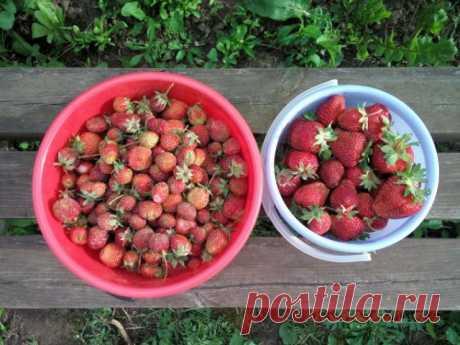 Чем подкормить клубнику после сбора урожая — Полезные советы