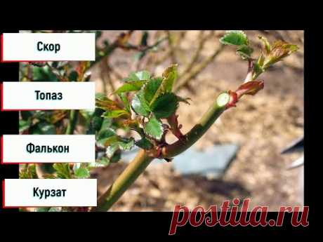 График обработок роз с весны до осени!