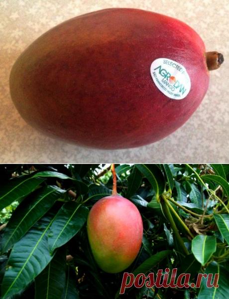 Фрукт Манго - польза и вред для здоровья, как выбрать, есть, полезные свойства спелых и недозрелых плодов, мангового масла, как вырастить дерево манго из косточки, как выбирать в магазине спелый фрукт, как его есть