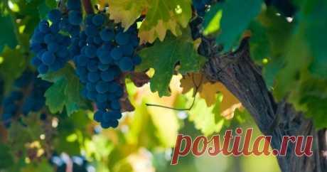 Что посадить под виноградом можно, а что нельзя Что делать, если дачный участок маленький, а планов по посадке культур у вас громадье? Ответ один – сажать одни растения рядом с другими. Только делать это надо с умом, иначе культуры-соседи просто уничтожат друг друга. Сегодня говорим о винограде.