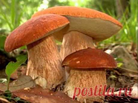 How to grow up forest mushrooms on the site?