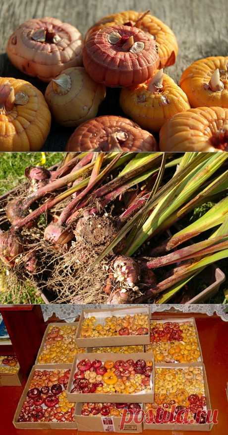9 main councils for preparation and storage of gladioluses in the winter