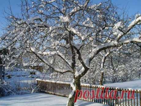 Для чего прививают плодовые деревья на волчки | 6 соток