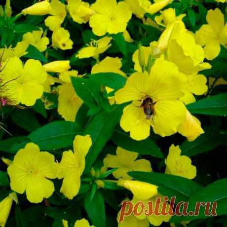 Многолетний садовый цветок Энотера (Oenotera). Семейство: кипрейные (Onagraceae)  Синонимы: ослинник, ночная свеча  Одно-, дву- и многолетнее травянистое растение с ползучим корневищем, прямым, слабоветвистым, облиственным стеблем. Листья овально-ланцетные, слегка опушенные. Цветки от 5 до 15 см в диаметре, ярко-желтые, собраны в кистевидные или колосовидные соцветия. Цветет в июне - июле.  Основные виды Из многолетних видов распространены: э.кустарниковая (Oe.fruticosa).