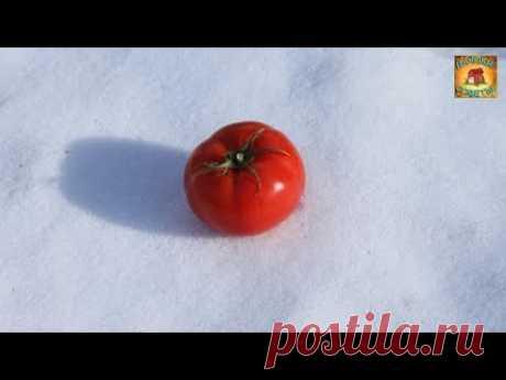 Необычное выращивание рассады помидор Уникальный способ посева томатов под зиму Дачные Советы - YouTube