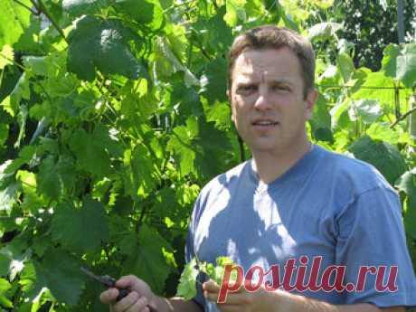От того, что будет расти рядом с виноградом, зависит урожайность винной ягоды Сосед для винограда. Виноградные лозы в нашем теплеющем с каждым годом климате вьются не только в теплицах, но и в открытом грунте. И на середину мая обычно приходится высадка саженцев. Да, этой солнечной ягоде очень важно, чтобы было вдоволь тепла и света. Но не менее важно и соседство: что будет расти рядом с виноградным кустом? Кандидат сельскохозяйственных наук Сергей Соболев это изучал специально.
