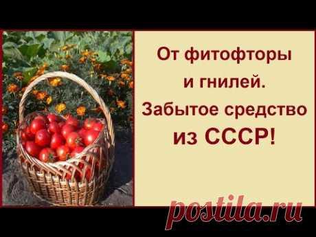 ОТ ФИТОФТОРЫ И ГНИЛЕЙ! ЗАБЫТОЕ СРЕДСТВО! ПРИВЕТ ИЗ СССР!