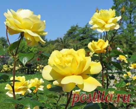 Первые розы - самые красивые! ♥ Фото: Vlad Bar