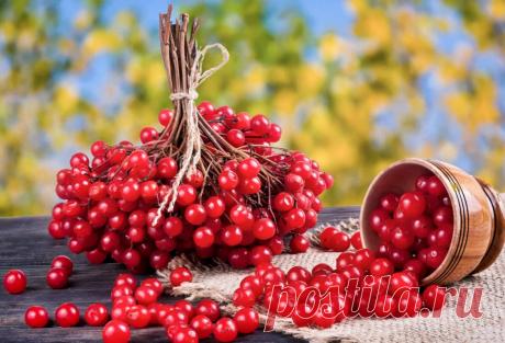 Калина красная, калина вызрела... Самая полезная ягодка наших лесов-садов.   DiDinfo   Яндекс Дзен