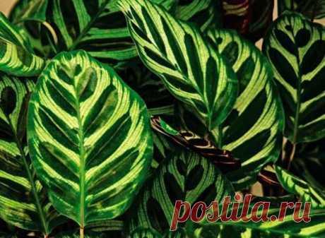Капризная калатея: особенности ухода Калатея относится к семейству марантовых. Это многолетнее декоративно-лиственное растение около 80 сантиметров высотой. Калатея ценится любителями комнатного цветоводства за оригинальную окраску листьев, которые могут быть, как насыщенно зеленого цвета, так и с различным рисунком из пятен и полос самых невероятных оттенков от желтого до красно-коричневого. У некоторых видов окраска листьев даже напоминает оперенье сказочной жар-птицы.