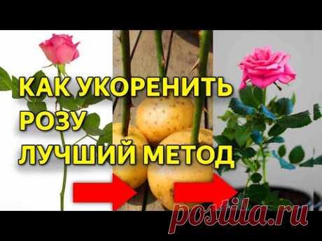 Укоренить любую розу! Надежный способ! Работает в любое время года!