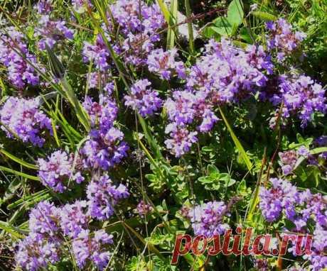 Самая мощная трава, которая уничтожает стрептококк, герпес, кандиду, вирус гриппа и лечит более 50 болезней! - HeadInsider