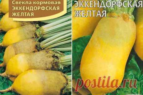 Свекла Эккендорфская желтая кормовая: описание и характеристика сорта, фото, отзывы, достоинства и недостатки, особенности выращивания, урожайность