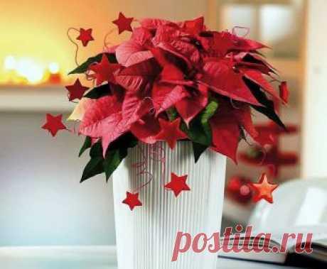 Пуансетия (Рождественская звезда): уход в домашних условиях Пуансетия - это суккулент, которые цветет зимой. Начиная с 17 века пуансеттию использовали в рождественских богослужениях как символ Вифлеемской звезды.
