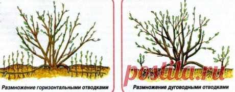 Розы отводками   • Один из способов размножения роз – получение их окольцованными горизонтальными отводками. В апреле – начале мая у куста пригибают один или несколько побегов и закрепляют деревянными или металлическими крючками.   У основания окольцовывают их (снимают кору) на ширину 3-5 см. Это место обвязывают полиэтиленовой пленкой в 5-6 слоев, смазав ее с одной стороны тонким слоем садового вара. Во второй половине июня из всех здоровых почек пригнутого побега появляю...