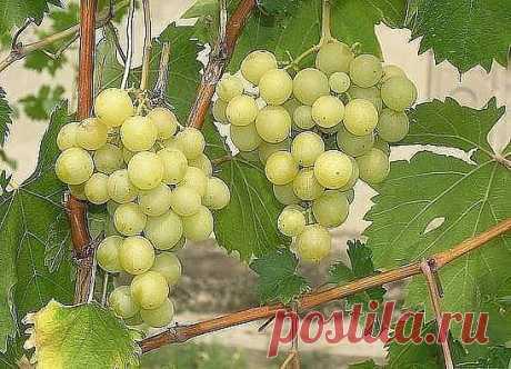 СУПЕРПОДКОРМКУ ДЛЯ ВИНОГРАДА ДЕЛАЮ САМ  Заниматься виноградом я стал не так давно. Однако за несколько лет  выращивания этого вкуснейшего лакомства мне удалось приобрести хоть и небольшой, но положительный опыт. Сегодня хочу поделиться с вами, как я подкармливаю виноград осенью.  Суперподкормку для винограда делаю сам  В начале октября, когда виноград уже входит в состояние покоя, самое  время заняться его подкормкой. Итак, как я это делаю: на грядке между  двумя кустами в...