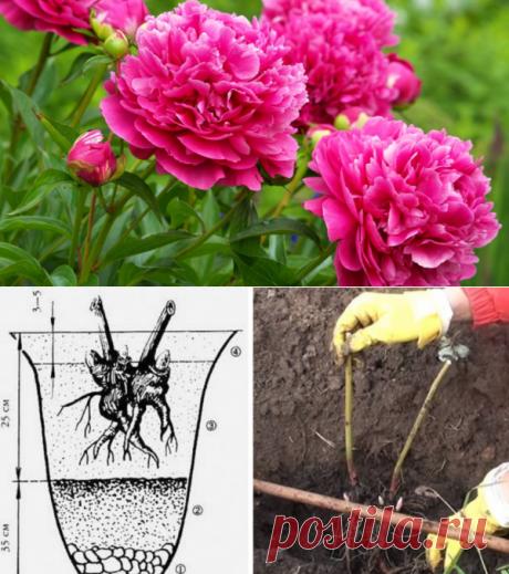 5 агротехнических приемов, которые можно сделать с пионами в августе | Марина Мэй | Яндекс Дзен