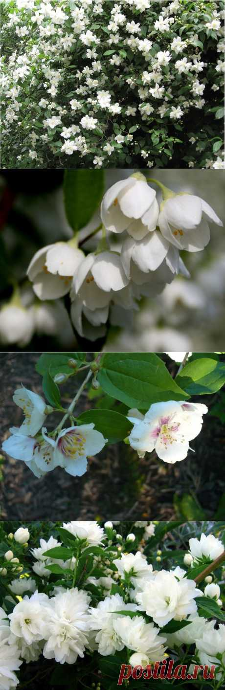 Reproduction and grades of a mock orange. Landing and care of a mock orange.