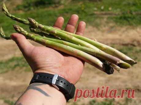 Самая прибыльная овощная культура. Идея для бизнеса в деревне.   Чилисад   Яндекс Дзен