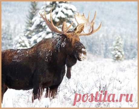 Какие особенности необходимо знать охотясь на лося | УДАЧНАЯ РЫБАЛКА И ОХОТА | Яндекс Дзен