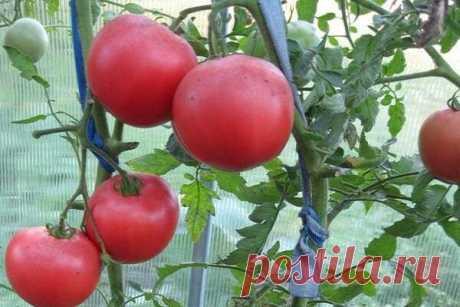 Три сорта ранних томатов, рассаду которых сажаю в январе, а в мае у меня первый урожай | Добрый дачник | Яндекс Дзен