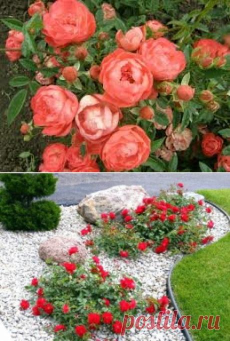 Повышение зимнестойкости роз: простые способы