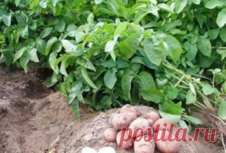 Для чего я использую картофельную ботву?