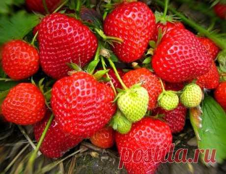 Важная Весенняя подкормка клубники для большего урожая. ?? | Блоги о даче и огороде, рецептах, красоте и правильном питании, рыбалке, ремонте и интерьере
