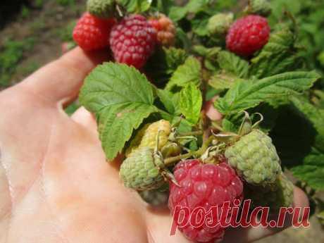Чтобы малина не вырождалась  Нередко садоводы утверждают, что у них малина выродилась, то есть или полностью перестала давать урожай, или ягоды стали совсем мелкими. Действительно ли в этом случае малина выродилась?  Селекционер…