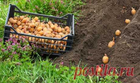 Уникальный метод выращивания картофеля Агроном Квартальнова Л. П. разработала уникальный метод выращивания богатого урожая картофеля на... Читай дальше на сайте. Жми подробнее ➡