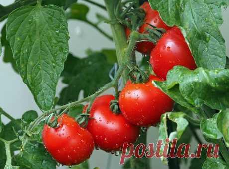 У меня есть помидоры, даже если идут дожди: бабушка научила, как их спасти