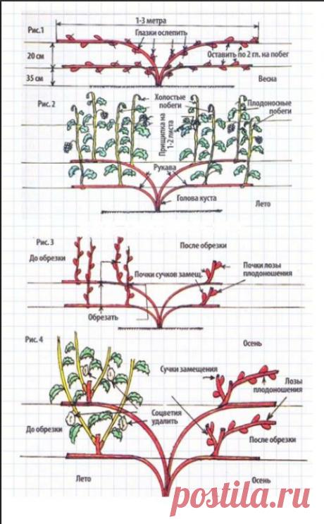 Обрезка винограда осенью и весной – это гарантия стабильного роста, высокого и вкусного урожая. Если этого не делать, лозы становятся длинными, а ягоды мелкими.