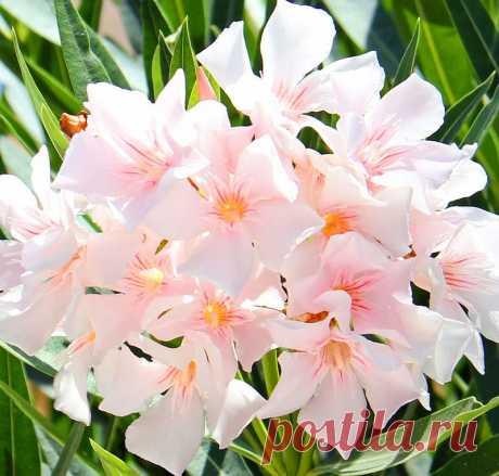 Прекрасньй цветок - Олеандр..