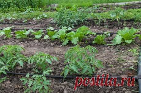 Что можно сажать рядом с помидорами