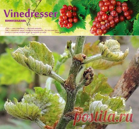 Клещ виноградный листовой Calepitrimerus vitis