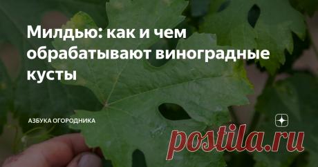 Милдью: как и чем обрабатывают виноградные кусты Что это за болезнь — милдью? Чем лечат растение, как остановить распространение болезни?