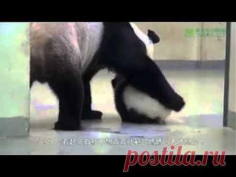 Мама панда укладывает спать сына | 5минутка