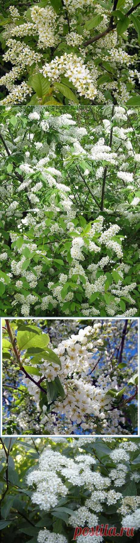 фото цветы черёмухи: