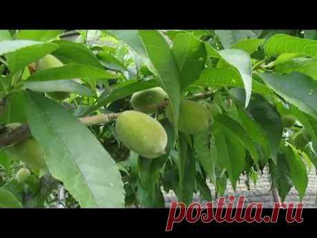 Персик. Что прореживаем и укорачиваем на ветках с плодами.