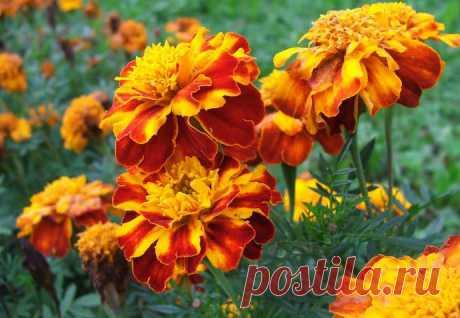 Бархатцы: лечебные и лекарственные свойства цветов, противопоказания, польза для здоровья, использование в народной медицине