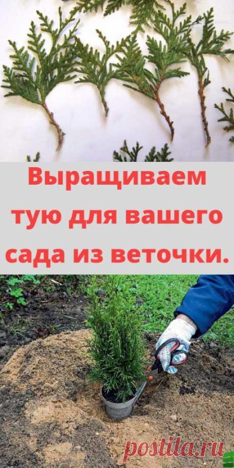 Выращиваем тую для вашего сада из веточки. - My izumrud