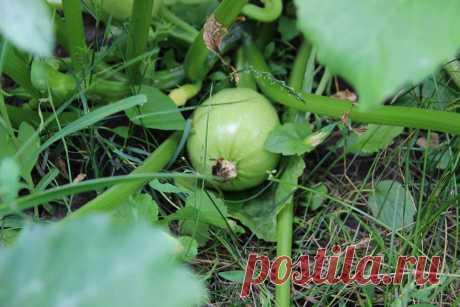 """В первый раз сажала кабачки, сорт """"Раунд бьюти"""". Они и вправду кругленькие, в длину 8-10 см. Очень довольна покупными семенами (интернет-магазин), всхожесть 100%. Посадила 10 семечек (в конце мая) - получилось 10 больших кустиков. Огородик у нас первый год, так что всё в новинку )) Всем хорошего урожая!"""