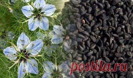 Черный тмин от всех болезней. Диабет, бессонница, простуда, паразиты… - https://krasotaotzdoroviya.ru/chernyj-tmin/  В настоящее время популярность однолетнего травянистого растения Nigella Sativa или Чернушки, а точнее — его семян значительно возросла.  Это не удивительно, поскольку целебные свойства нигеллы известны с незапамятных времен отсутствием побочных эффектов, которые присущи синтетическим лекарственным средствам, а, особенно, антибиотикам. Показать полностью…