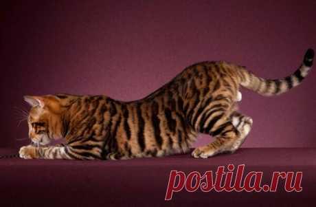 Самые редкие и дорогие породы кошек: ТОП-10