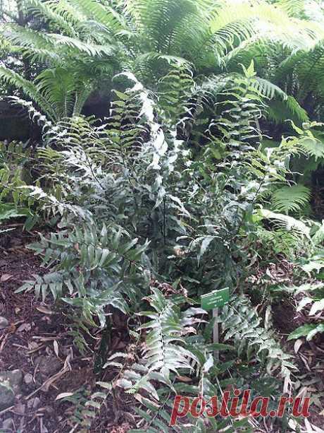 Циртомиум - Папоротниковый сад