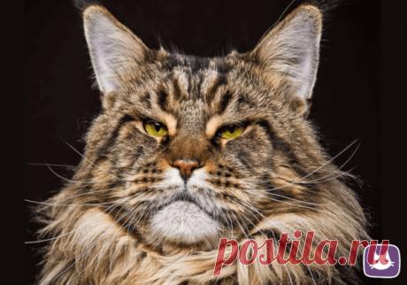 🐱Какой характер и какие заболевания присущи разным породам кошек | Нос, хвост, лапы | Яндекс Дзен
