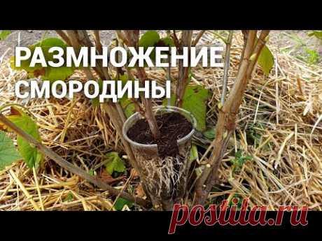 Размножение Смородины. Удивительный и простой способ размножить смородину 100% результат!