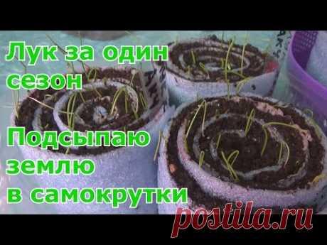 Вырастить лук из семян рассадой более хлопотно чем из севка, но зато в несколько раз дешевле. Семена лука называют луком-чернушкой. Примерный срок посева лук...