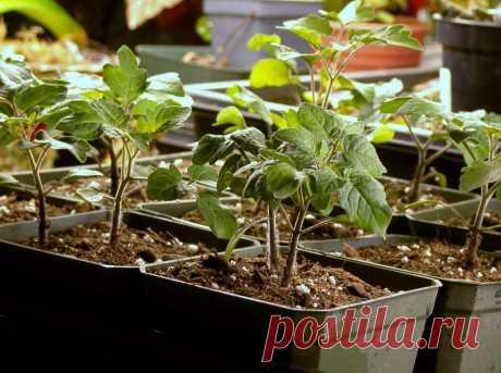 Чем подкормить рассаду томатов для укрепления ствола, чтобы была толстенькой и не вытягивалась - 5 лучших подкормок в домашних условиях